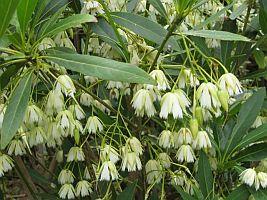 Elaeocarpus-grandiflorus1